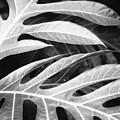 Breadfruit Tree Leaves by Dana Edmunds - Printscapes
