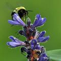 Bumble Bee Breakfast by Glenn Gordon