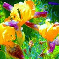 Breakfast Time Oj Irises by Tim G Ross