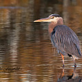 Breat Blue Heron Golden by Mike Fitzgerald