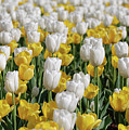 Breathtaking Field Of Blooming Yellow And White Tulips by DejaVu Designs