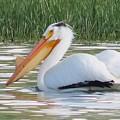 Breeding American White Pelican On Lower Sunshine by Christi Chapman