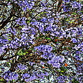 Breeze Through The Jacaranda by Glenn McCarthy Art and Photography
