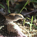 Breswick Wren On Tree Root 2 by Colleen Cornelius
