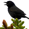 Brewer's Blackbird by Deborah Weinhart