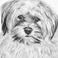 Brewser The Shih Tzu by Kate Sumners