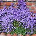 Brick Wall With Blue Flowers by Carol Groenen
