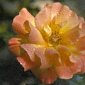 Bridal Pink Yellow Hybrid Tea Rose Genus Rosa by David Zanzinger