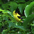 Bright American Goldfinch by Chris Tennis