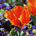 Bright And Colorful Orange And Red Tulip Flowering In A Garden by DejaVu Designs