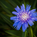 Bright Blue Aster by Penny Lisowski