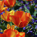 Bright Colored Garden With Striped Tulips In Bloom by DejaVu Designs