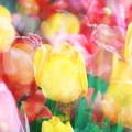Bright Dreams In The Tulips by Toni Hopper