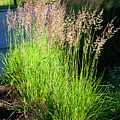 Bright Green Grass By The Pond by Thomas Habif