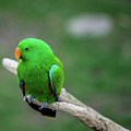 Bright Green Parrot by Bud Bartnik