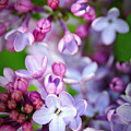 Bright Lilacs by The Forests Edge Photography - Diane Sandoval
