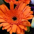Bright Orange Daisy by Shirley Stevenson Wallis