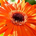 Bright Orange Gerbera  by Cynthia Woods
