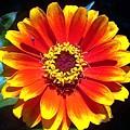 Bright Orange Zinnia by Caroline  Urbania Naeem