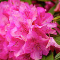 Bright Pink Rhododendron by Teri Virbickis