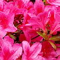 Bright Pink Rhododendrons by Sonja Anderson