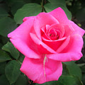 Bright-pink Rose 049 by Sofia Metal Queen