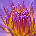 Bright Purple Lotus by Shreeharsh Ambli