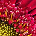 Bright Red Gerbera Daisy by Marilyn Hunt