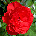 Bright Red Rose At Pilgrim Place In Claremont-california  by Ruth Hager