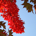 Bright Red Sunlit Autumn Leaves Fall Trees by Baslee Troutman