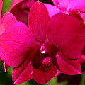 Bright Scarlet Red Orchid by Christiane Schulze Art And Photography