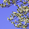 Bright Spring Blossom 1 by Griff Griffiths