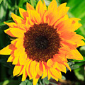 Bright Sunflower by Deborah Benbrook