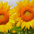 Bright Sunflowers by Kathleen Struckle