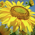 Bright Sunny Happy Yellow Sunflower 10 Sun Flowers Art Prints Baslee Troutman by Baslee Troutman