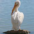 Bright White Pelican by Carol Groenen