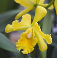 Bright Yellow Cattleya Orchid by Allan Seiden - Printscapes