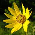 Bright Yellow Flower by Kent Lorentzen