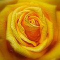 Bright Yellow Rose by Patrick Witz