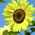 Bright Yellow Sunflower Art Prints Blue Sky Baslee Troutman by Baslee Troutman