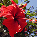 Brightly Colored Hibiscus On The Greek Island Of Mykonos  by Richard Rosenshein