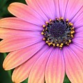 Briliant Colored Daisy by Bruce Bley