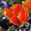 Brilliant Bright Orange And Red Flowering Tulips In A Garden by DejaVu Designs