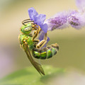 Brilliant Green Bee by Jim Hughes