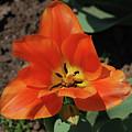 Brilliant Orange Tulip Flower Blossom Blooming In Spring by DejaVu Designs