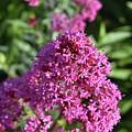 Brilliant Pink Blooming Phlox Flowers In A Garden by DejaVu Designs