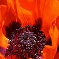 Brilliant Poppy by Bruce Bley