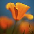 Brilliant Poppy by Mike Reid