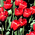 Brilliant Tulips Dp22 by Mary Gaines