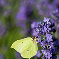 Brimstone Butterfly And The Lavender by Torbjorn Swenelius